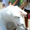 Sep 27, 2009: Arthur the Arctic Fox gets lots of attention when he visits the Duluth Fall Festival on the Duluth town green.