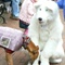 Nov 1, 2009: Arthur the Arctic Fox meets a retired greyhound at the Marietta Harvest Square festival.
